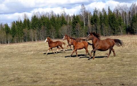 Tori hobused, arhiivifoto.