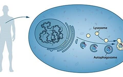 Autofaagia selgitus. Tegu on täpselt reguleeritud protsessiga, mis mängib normaalset osa rakkude kasvus, arengus ja homöostaasis, mis aitab säilitada tasakaalu sünteesi ja lagunemise ning sellele järgneva rakuliste toodete ringlussevõtu vahel.