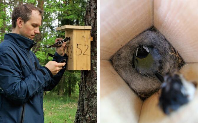 Linnuökoloogide välitööd: pesakasti avast pistetakse sisse rähni topis ja registreeritakse rasvatihase emalinnu käitumine. Fotol Marko Mägi.