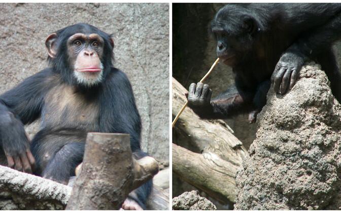 Šimpans ja bonobo.