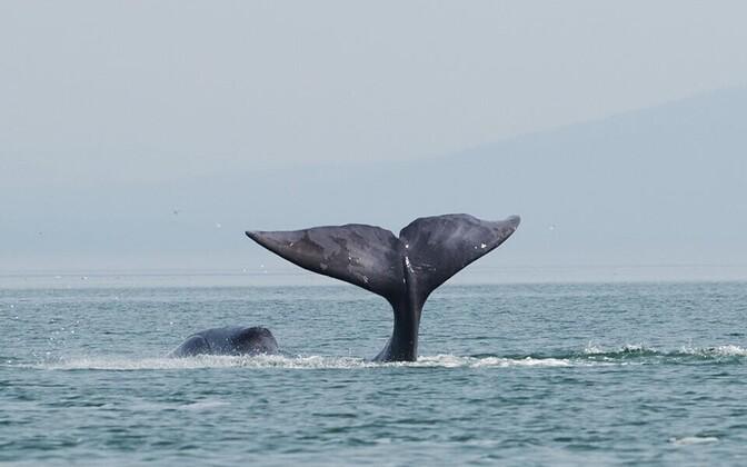 Muistsete küttide ohvriks langesid grööni vaalad.