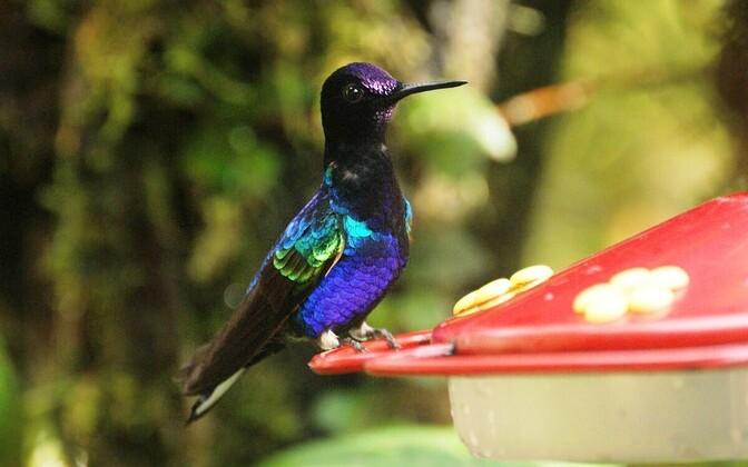 Mitmed linnuliigid võivad olla arvatust suuremas ohus.