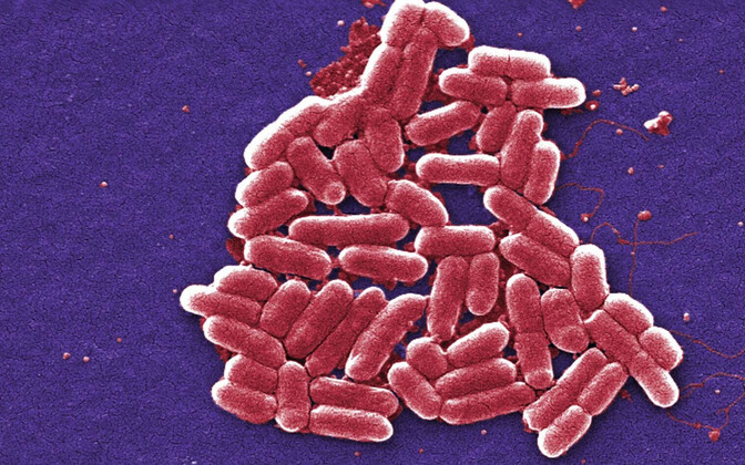 Röövbakterid aitaksid lisaks Shigellale ka ohtlike kolibakterite vastu.