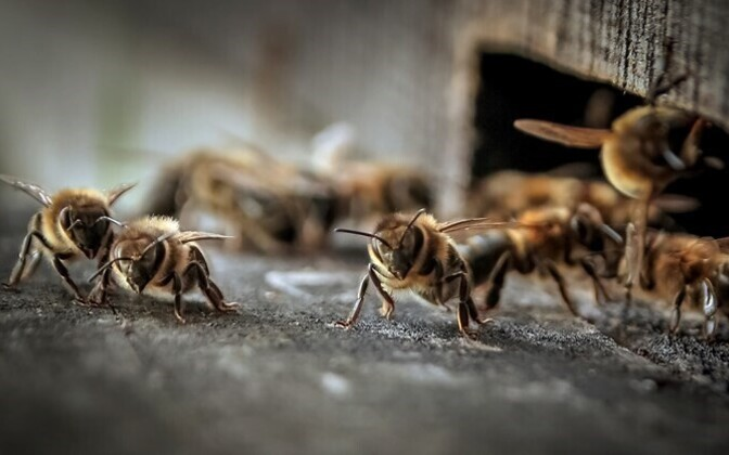 Between 15 and 25% of Estonian beehives die every year because of exposure or excessive use of pesticides.