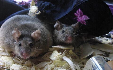 Aspartaam tõstis hiirte kehakaalu. Pilt on illustreeriva tähendusega.