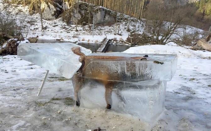 Läbi jää kukkunud rebane
