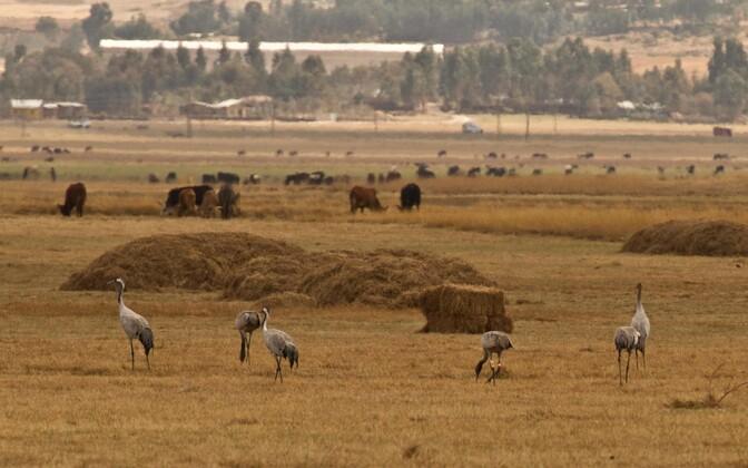 Raadiosaatjaga sookurg Ahja 4 aastal 2014 Etioopias talvitumas.