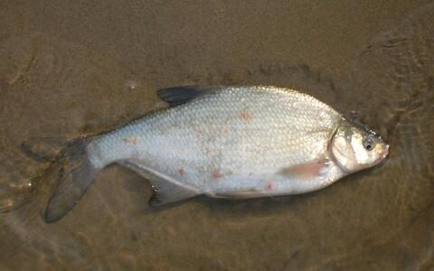 Varem arvati, et sügisene kala Emajões on tingimata see kala, kes liigub Emajõge pidi allavoolu ehk siis Võrtsjärve poolt Peipsi järve poole. Aga värske teadusuuring näitab, et see pole nii.