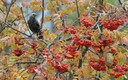 Common or European starling or 'kuldnokk' (Sturnus vulgaris).