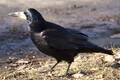 Rook or 'künnivares' (Corvus frugilegus).