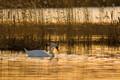 Mute Swan or 'kühmnokk-luik' (Cygnus olor).