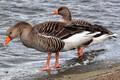 Greylag goose or 'hallhani' (Anser anser).