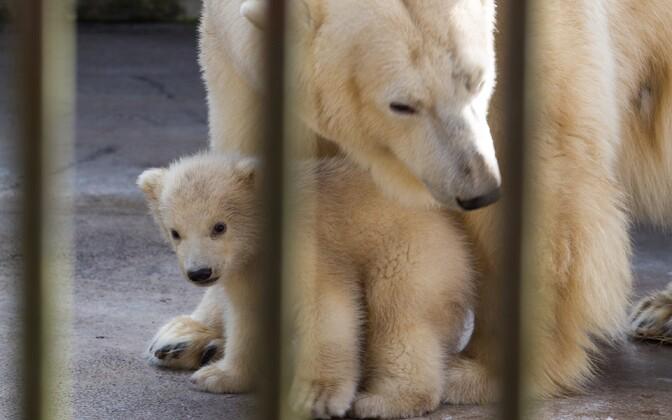 Jääkarud Friida ja Aron