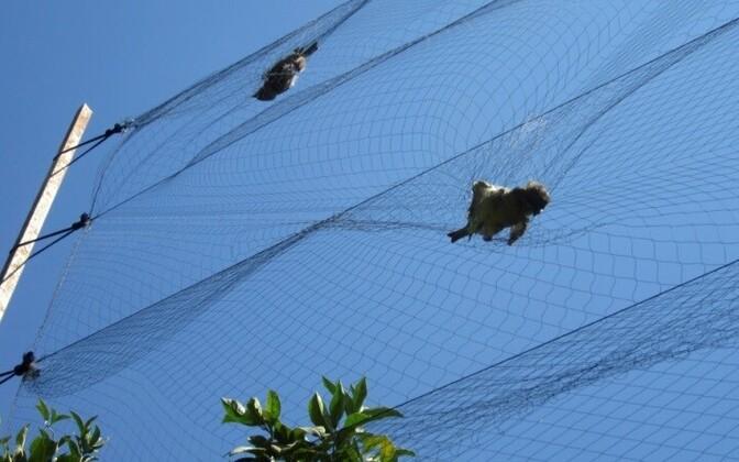 Браконьеры растягивают в зарослях кустарника акации практически невидимые тонкие сети и включают для приманки записи птичьего щебета.