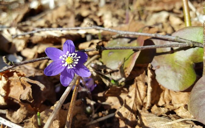Saaremaal on tänavu kevad varakult alanud.