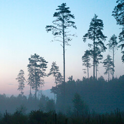A young-growth pine forest.