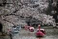 Kirsiõied Jaapanis