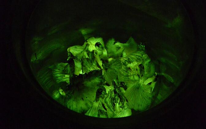 Ämbritäis Brasiilias kasvavaid seeni Neonothopanus gardneri.