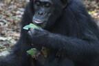 Noor šimpans üritab oma ema jäljendada.