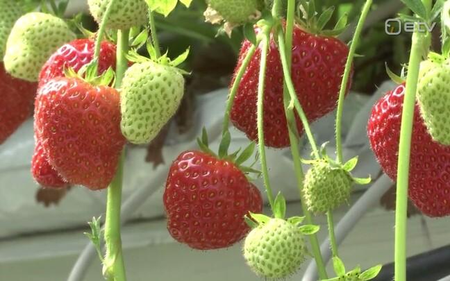 Mustangi talu maasikad.