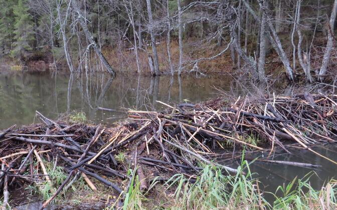 Beaver dam on the Southeastern Estonian border.
