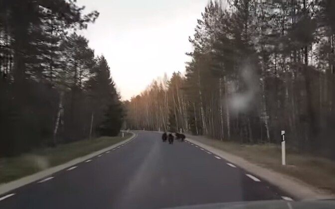 Three bear cubs crossing Tallinn-Haapsalu Highway. May 15, 2017.