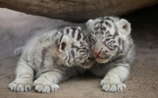 San Jorge loomaaia tiigrid