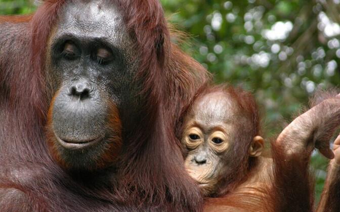 Orangutan oma pojaga.