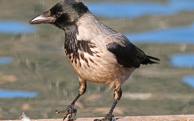 Ворона. Иллюстративная фотография