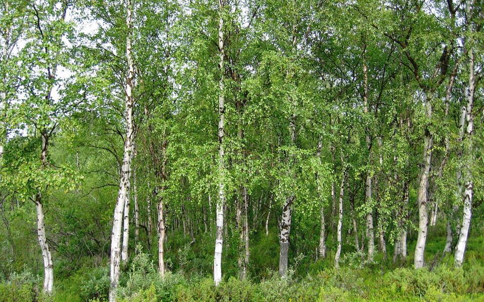 Arukask (Betula pendula) Soomes.