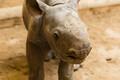 В Таллиннском зоопарке впервые родился детеныш носорога