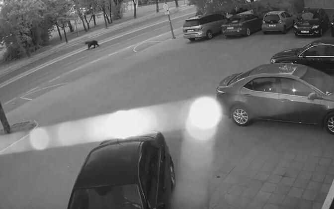 Медведь на улицах Нарвы