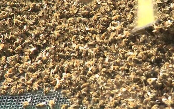 Мертвые пчелы.