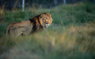 Lõvi Lõuna-Aafrika Vabariigis asuvas looduspargis 2015. aastal.
