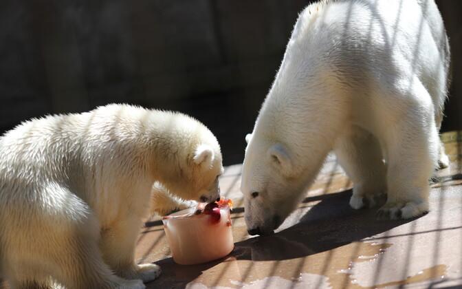 Tallinna loomaaias saavad loomad jäätist