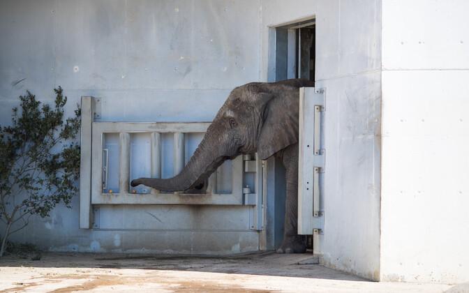Слон в Таллиннском зоопарке.