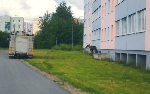 Лося обнаружили около 8 утра у дома по улице Пушкина.