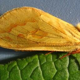 Emase humala-eistekedriku tiivad on kollased ja nende siruulatus on umbes 48 millimeetrit.