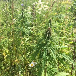 Selline ta on: õlikanep. Siin põllul on praegu veel kõrvuti isased ja emased taimed. Mõne aja pärast surevad isased välja ning siis jääb emastel ruumi end laiemaks kasvatada. Kanepi kasvatatud seemnetest saab pressida õli. Ühest kilost seemnetest saab u 2