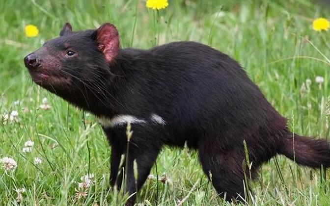 Kukkurkurat on jässaka kehaehitusega suure pea ja kaelaosa ning ebaproportsionaalselt lühikeste tagajalgadega loom. Karv on must, noorematel loomadel pehme ja tihe, vanematel jäävad karvad siit-sealt hõredaks ja harjasjaks. Enamasti on kas rinnal, külgede