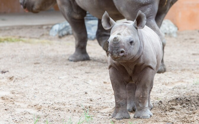 Kibeta, Tallinn Zoo's baby black rhinoceros.