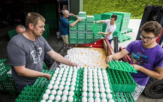 Mürgiste munade hävitamine Hollandi linnufarmis 3. augustil.