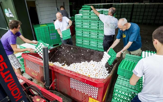 Уничтожение зараженных яиц на птицеферме в Голландии.
