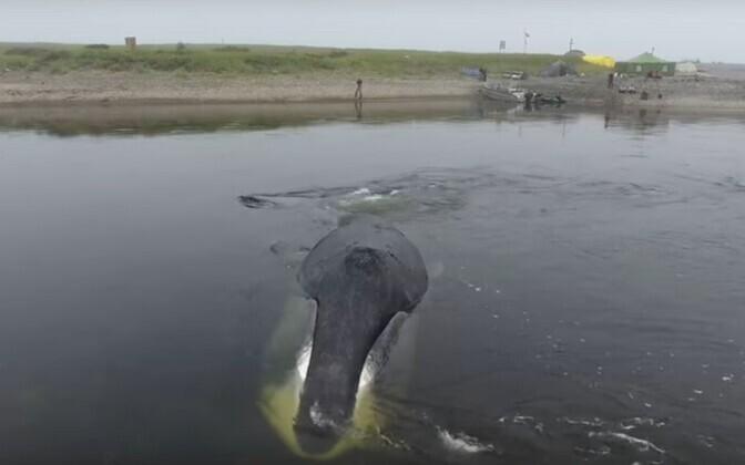 Застрявший в реке кит.