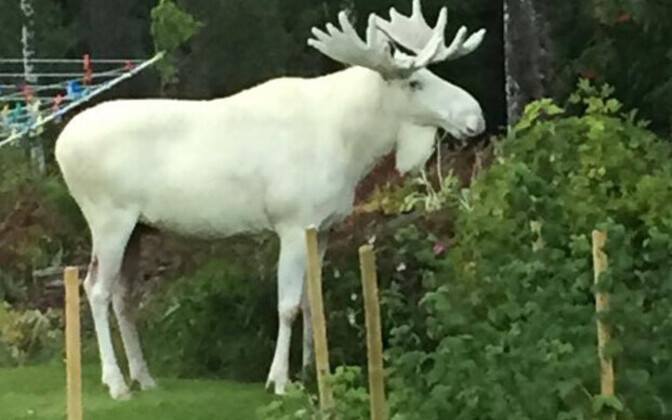 Valge põder Leveströmi aias õunu nosimas.