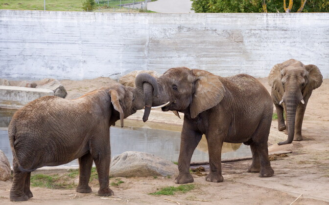 У слонов в Таллиннском зоопарке будут свои игрушки.