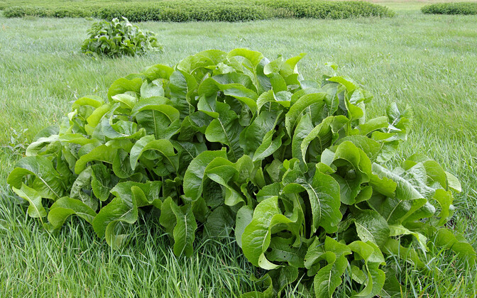 Aed-mädarõigas (Armoracia rusticana) on liik, mis suudab looduses ise paljuneda, kuid mida kasvatatakse söögitaimena ka aedades.