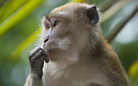 Pikksaba-makaagid.