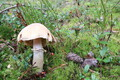 Колпак кольчатый (Cortinarius caperatus). Съедобный гриб.