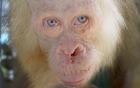 Albiino orangutan Alba.
